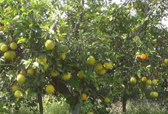 sweet lime producer farmers in crisis due to low rates latest updates