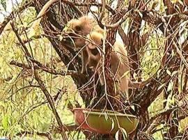 कोल्हा'पुरात' अडकलेल्या तीन माकडांची 15 दिवसांनी थरारक सुटका