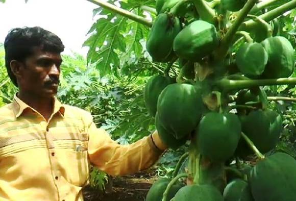lacs rupees earned with papaya crop in beed latest marathi news updates