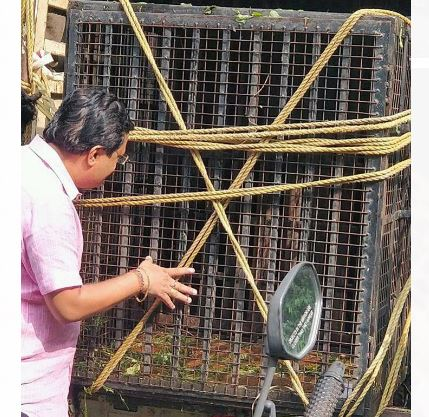 Nashik Bibtya caught