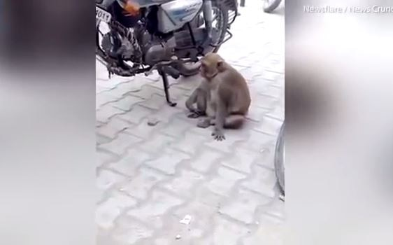 Addict monkey steals and DRINKS petrol from bikes in India