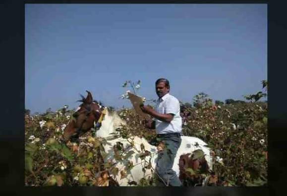 घोड्यावरुन अधिकाऱ्यांचा बोंडअळीचा पंचनामा