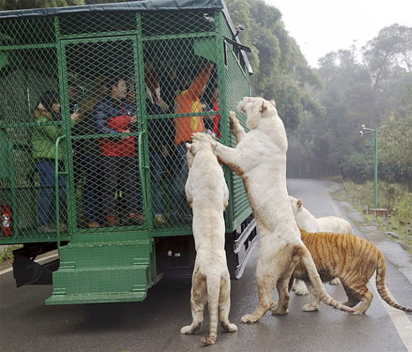 visitors-cage-chinese-zoo