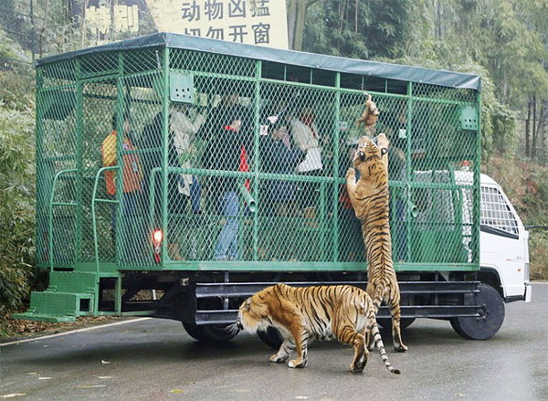 visitors-cage-chinese-zoo1