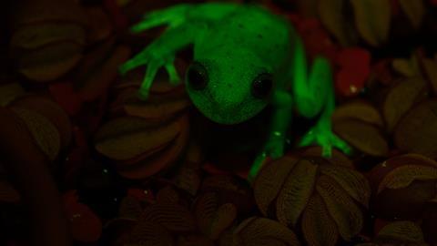 114957_Fluorescent-frogs_JFD_7783_credit-Julian-Faivovich-and-Carlos-Taboada---Hero