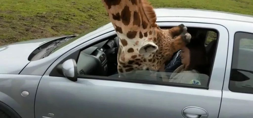 2-Giraffe-snatched-food-from-tourist-compressed