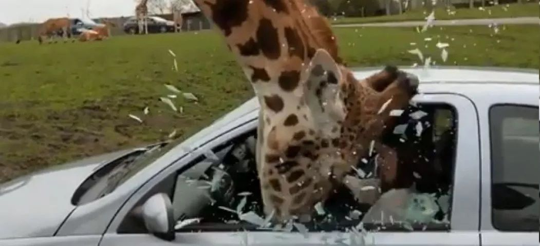 6-Giraffe-snatched-food-from-tourist-compressed