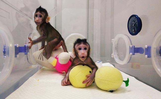 monkey-clones_650x400_81516817869